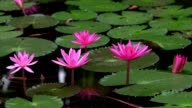 pink water lily on the lake video