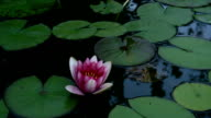 Pink Waterlily Time-lapse 1080p video