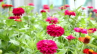 Pink zinnia flower fields video
