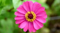 pink zinnia flower video