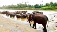 Pinnawela Elephant Orphanage - the Bathing video