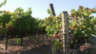 Pinot Noir grapes before harvest video