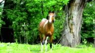 Pinto Arabian galloping on meadow video