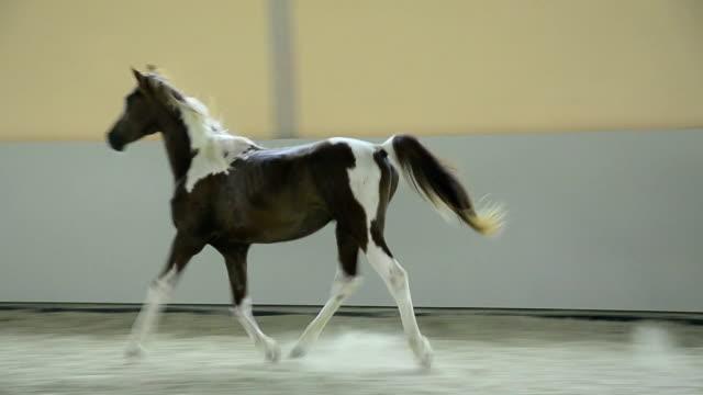 Pinto Arabian gelding trotting in hall video