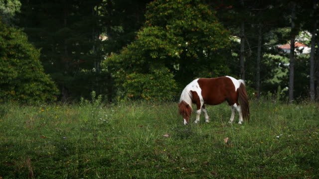 Pinto pony in the meadow. video