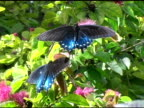 Pipevine Swallowtail Butterfly 2 NTSC video