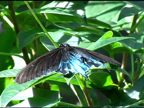 Pipevine Swallowtail Butterfly 5 NTSC video