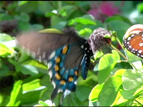 Pipevine Swallowtail Butterfly 6 NTSC video