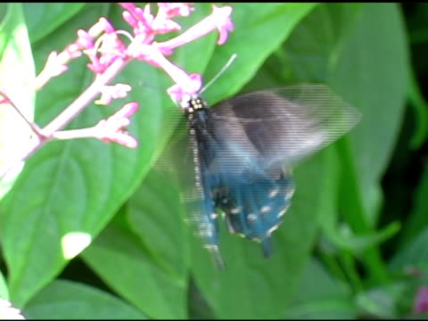 Pipevine Swallowtail Butterfly 7 NTSC video
