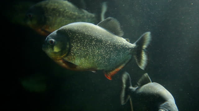Piranha underwater video