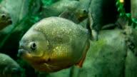Piranha video