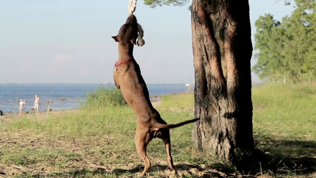 Pitbull and rope slow motion video