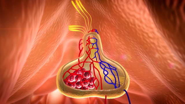 pituitary video