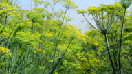 Plant fennel in a Sunny day video