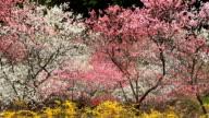 Plantation Japanese flowering peach. video