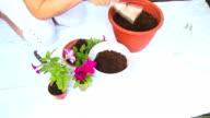 Planting a Flower Petunia video