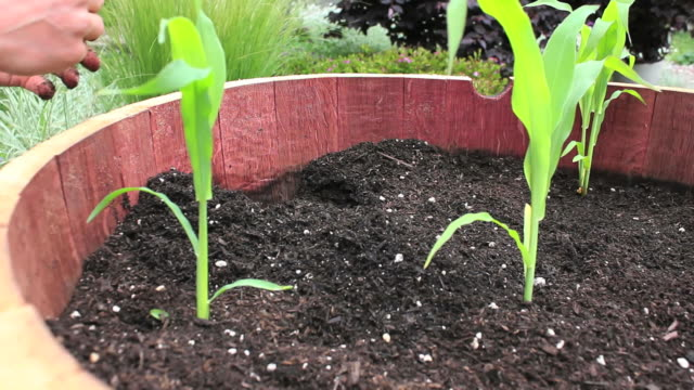 Planting Corn (HD) video
