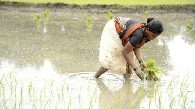 Planting Rice video