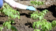 Planting tomatoes video