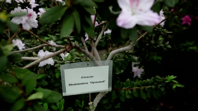 Plastic Nameplate of Azaleas at Its Branches Between Leaves and White Flowers video
