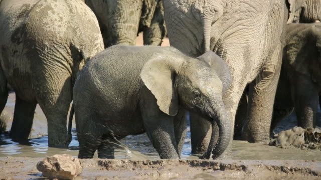 Playful baby African elephant video