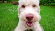 Playful dog eating grass. Close up of white dog looking at camera. video