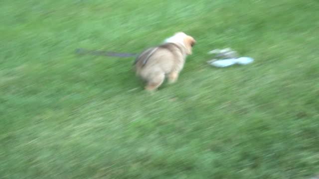 Playful dog - HD 1080/30f video