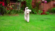 Playful dog running grass. White poodle playing outside. Lovely pet training video