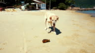 Playful golden retriever dog on the beach video
