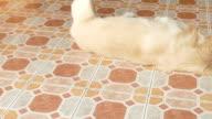 Playful Golden Retriever Dog video