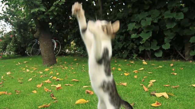 HD SLOW-MOTION: Playful Kitten video