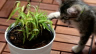 Playful Kitten video