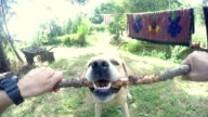 POV: Playful Labrador Retriever video