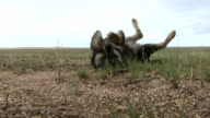 Playful Nomad Dog, Mongolia video