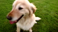 Playing With a Golden Retriever video