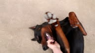Playing with doberman POV video
