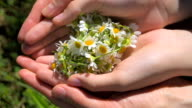 plucked chamomile flowers, close-up video
