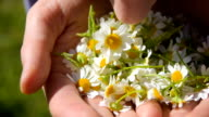 plucked chamomile flowers video