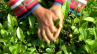Plucking Tea video