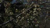 Plum Blossom 01 video
