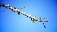Plum blossom video
