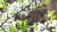 Plum blossoms in spring video