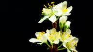 Plum flower blooming against black background video