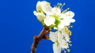 Plum flower blooming against blue background video