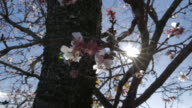 Plum flower, branches with sunbeam, Chichibu video