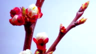 A Plum Flowers Blossoms video