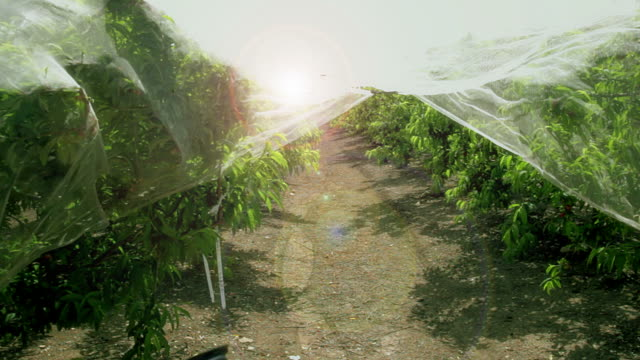 Plum Orchard. Trees covered with cellophane video