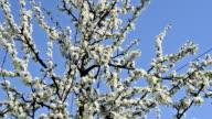 Plum tree in bloom video