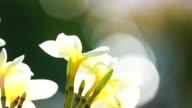 Plumeria flower in Reunion Island video
