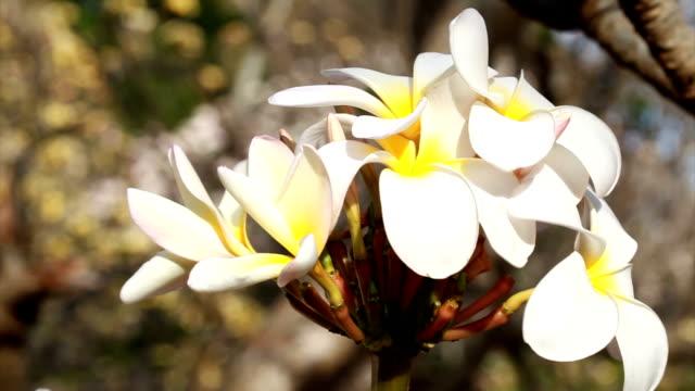 Plumeria flower video HD video